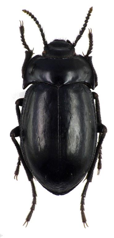 Gyriosomus laevigatus 76041cz50.jpg