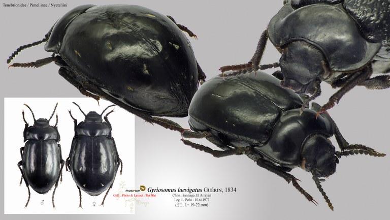 Gyriosomus laevigatus.jpg