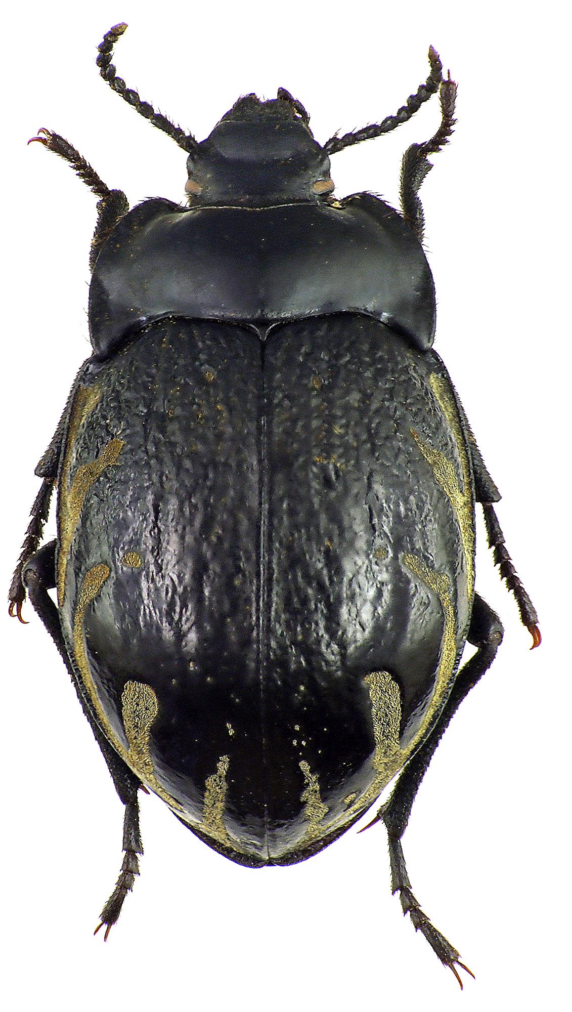 Gyriosomus melcheri 76217cz27.jpg