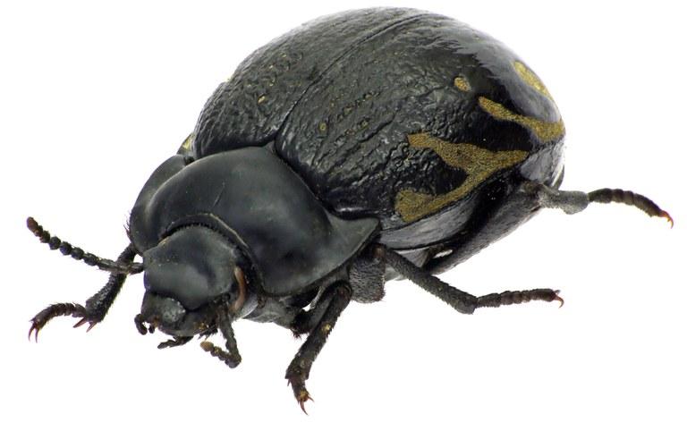 Gyriosomus melcheri 76239cz52.jpg