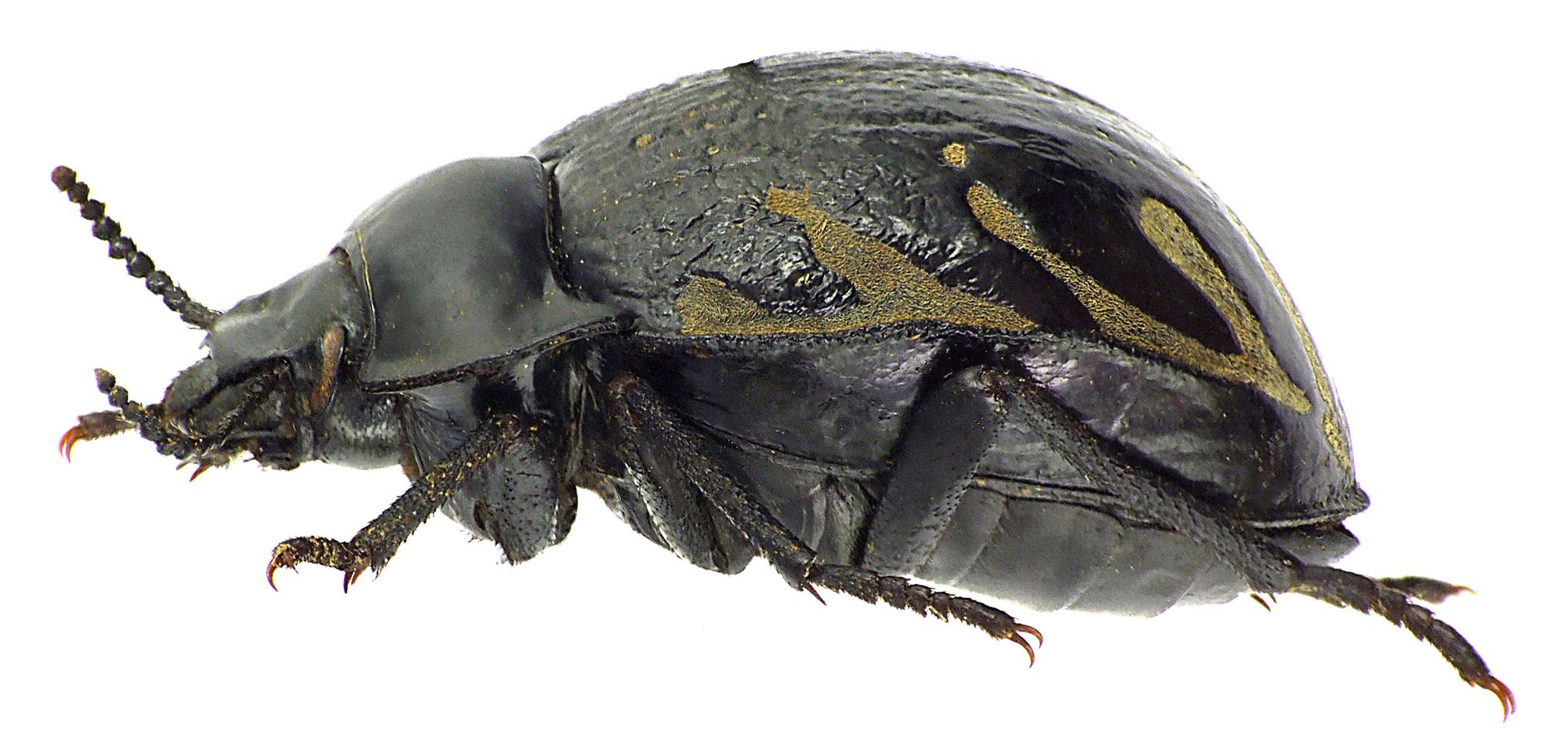 Gyriosomus melcheri 76253cz63.jpg