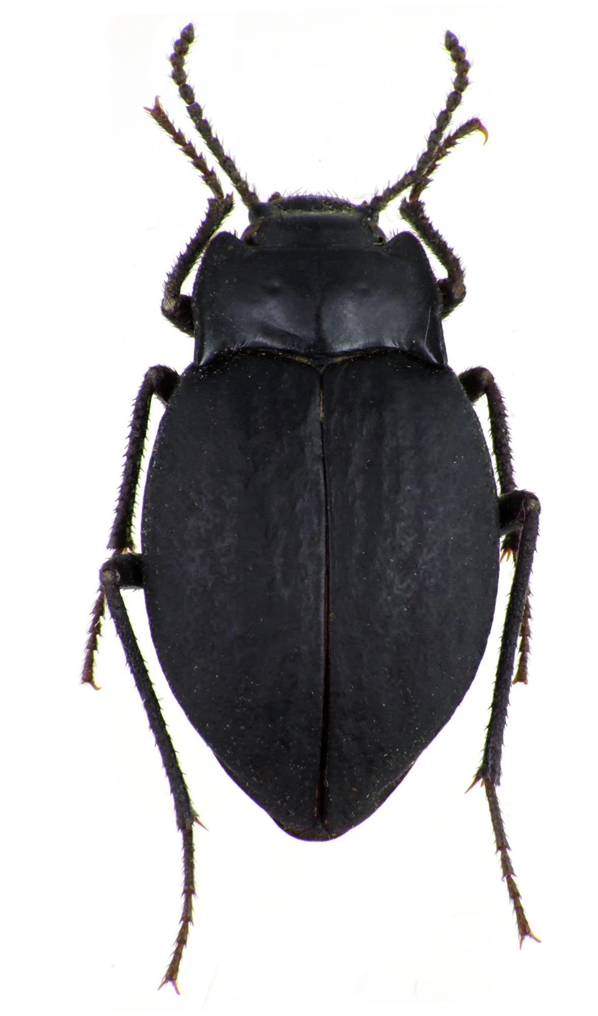 Gyriosomus parvus 75727cz33.jpg
