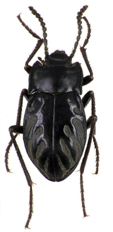 Gyriosomus parvus 75707cz14.jpg