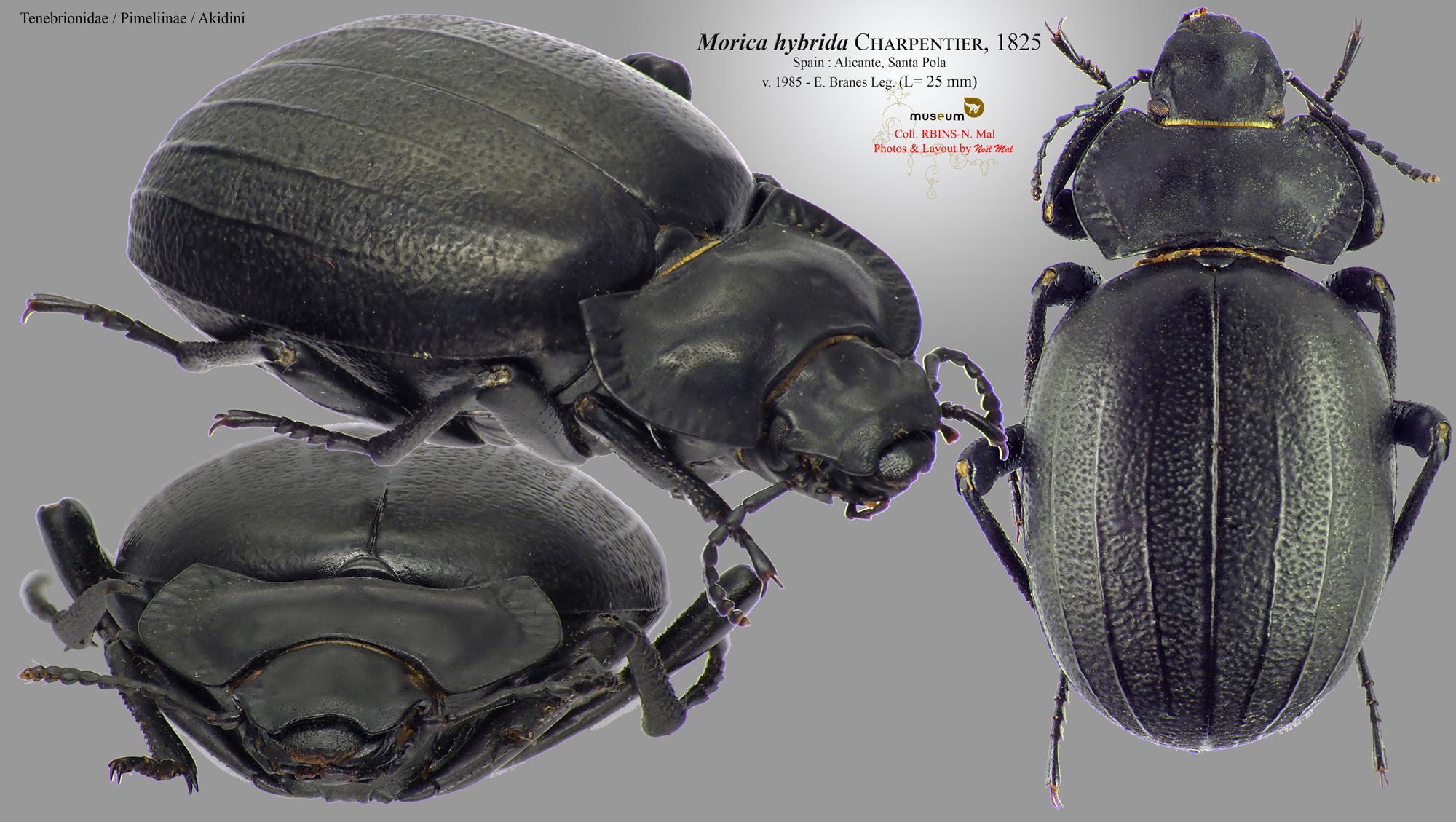 Morica hybrida.jpg