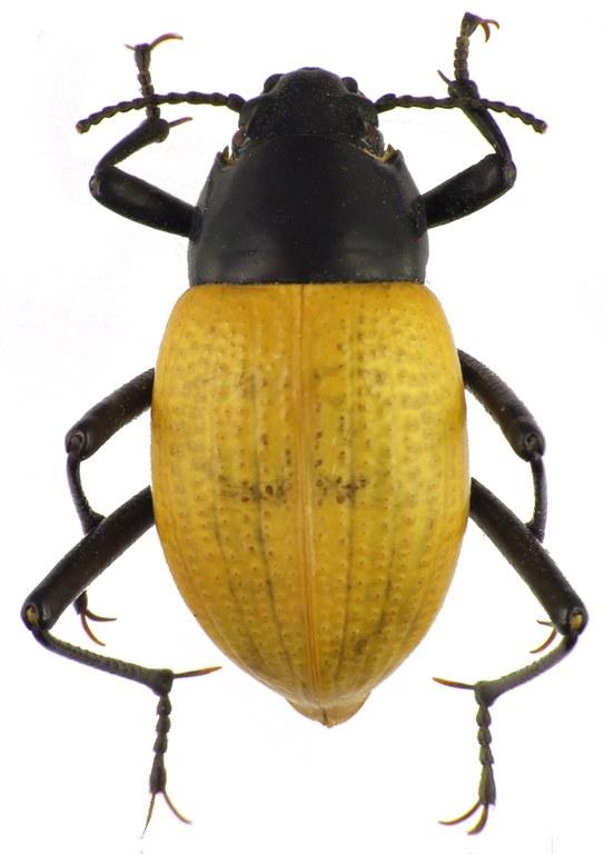 Onymacris bicolor bicolor 83214cz24.jpg