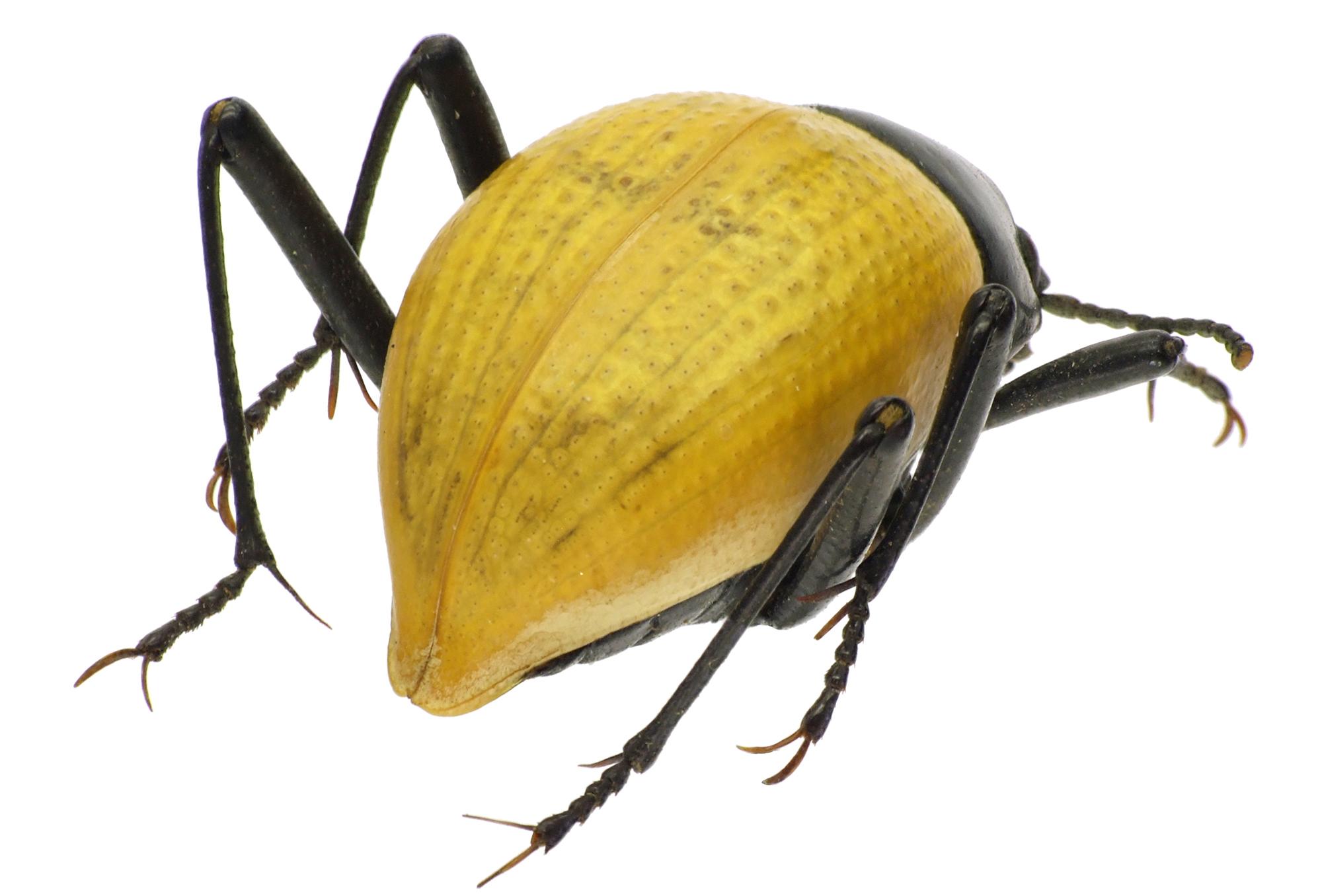 Onymacris bicolor bicolor 83250cz59.jpg