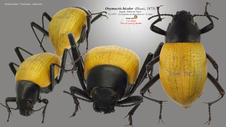 Onymacris bicolor bicolor.jpg