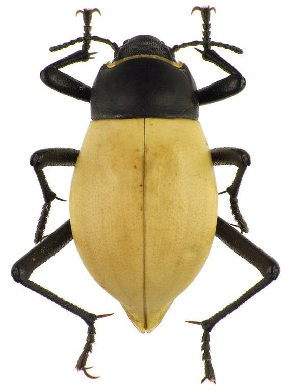 Onymacris candidipennis 83164cz76.jpg