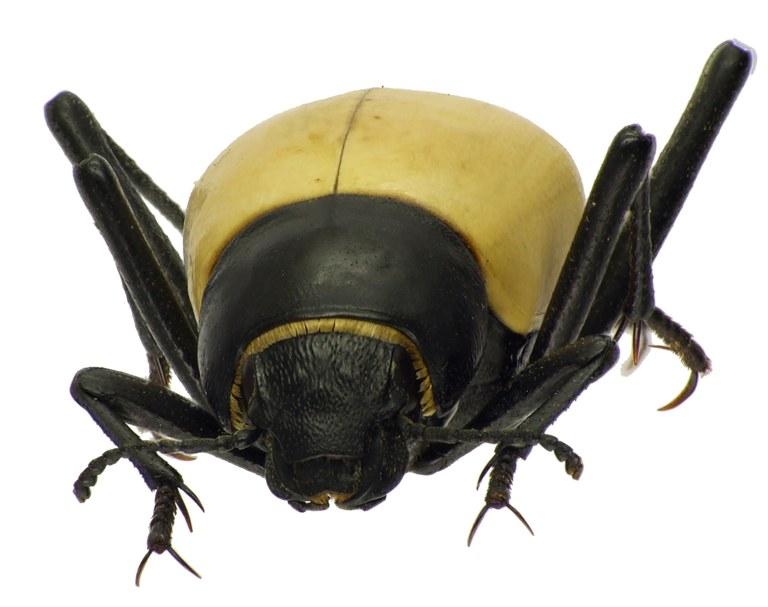 Onymacris candidipennis 83177cz92.jpg