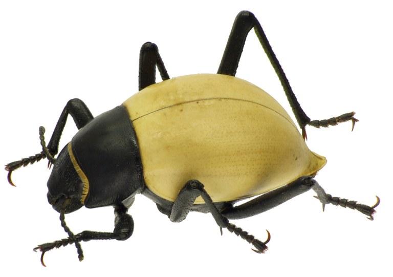 Onymacris candidipennis 83193cz06.jpg