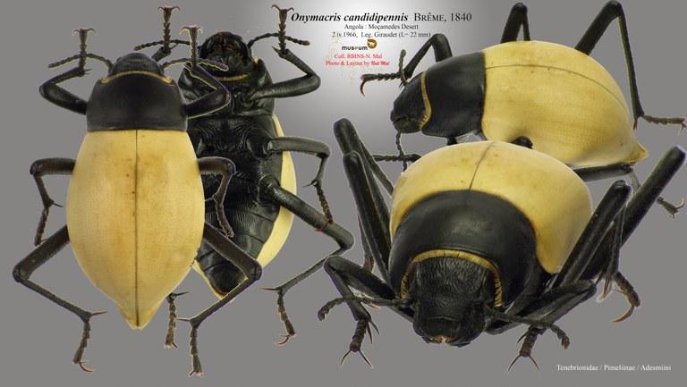 Onymacris candidipennis.jpg
