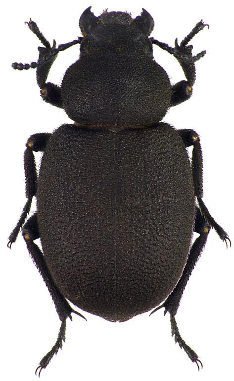 Pachyscelis villosa 72720cz29.jpg