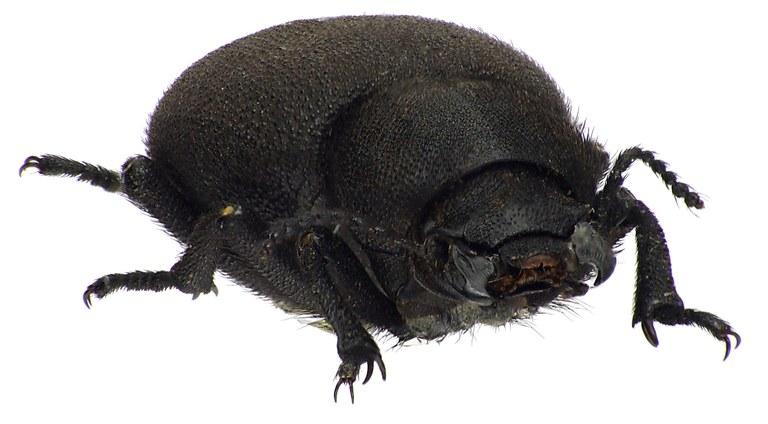Pachyscelis villosa 72730cz47.jpg