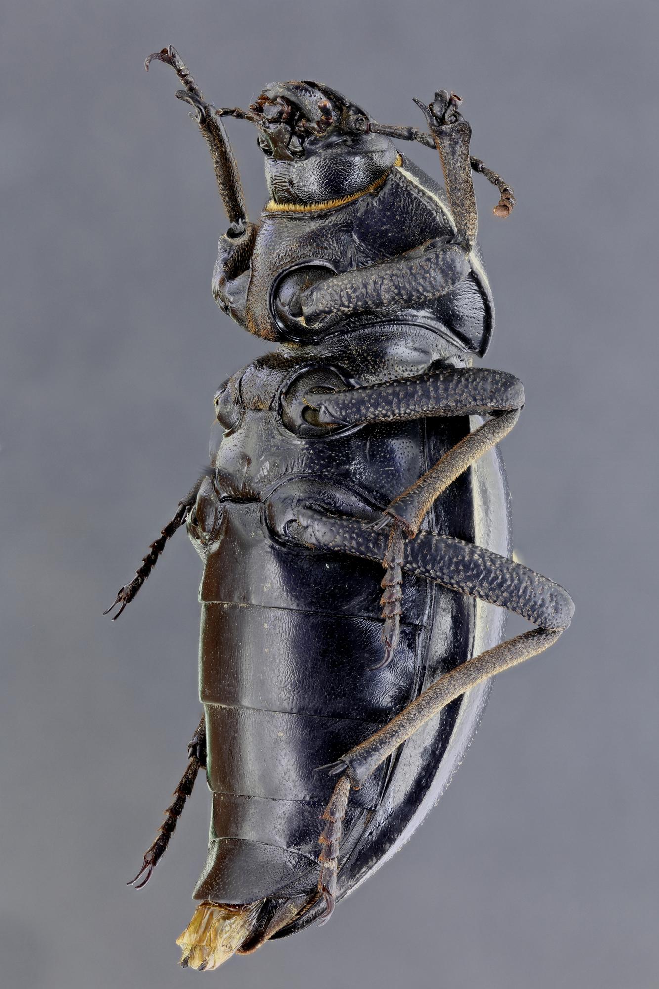 Phanerotomea arnoldi f 54900zs12.jpg