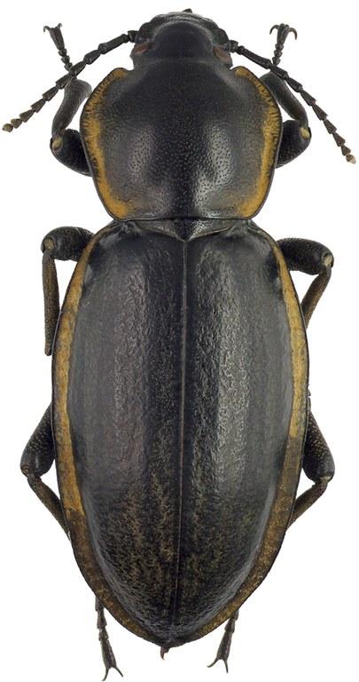 Phanerotomea arnoldi m 70882cz93.jpg
