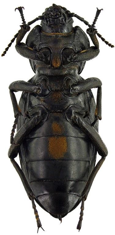 Phanerotomea arnoldi m 70948cz53.jpg