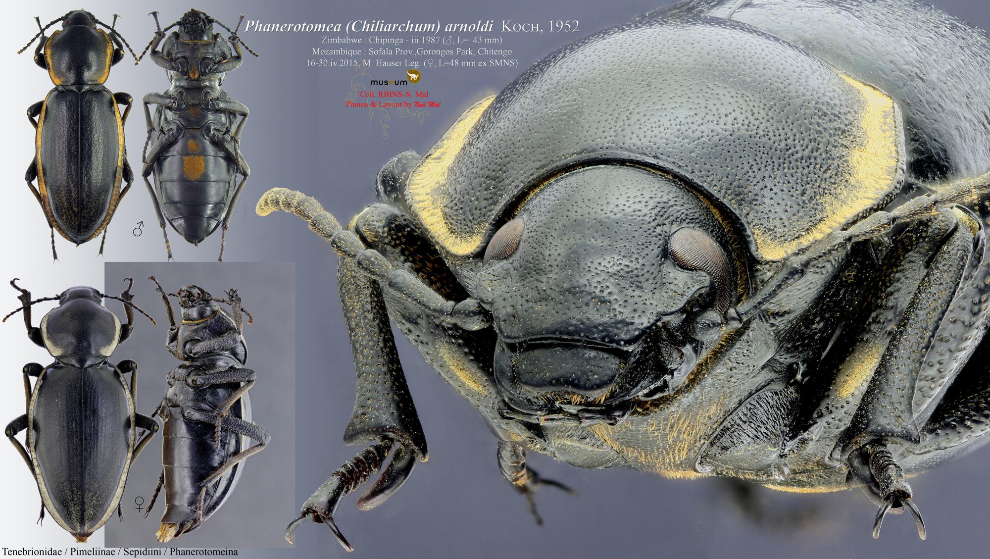 Phanerotomea arnoldi pair.jpg