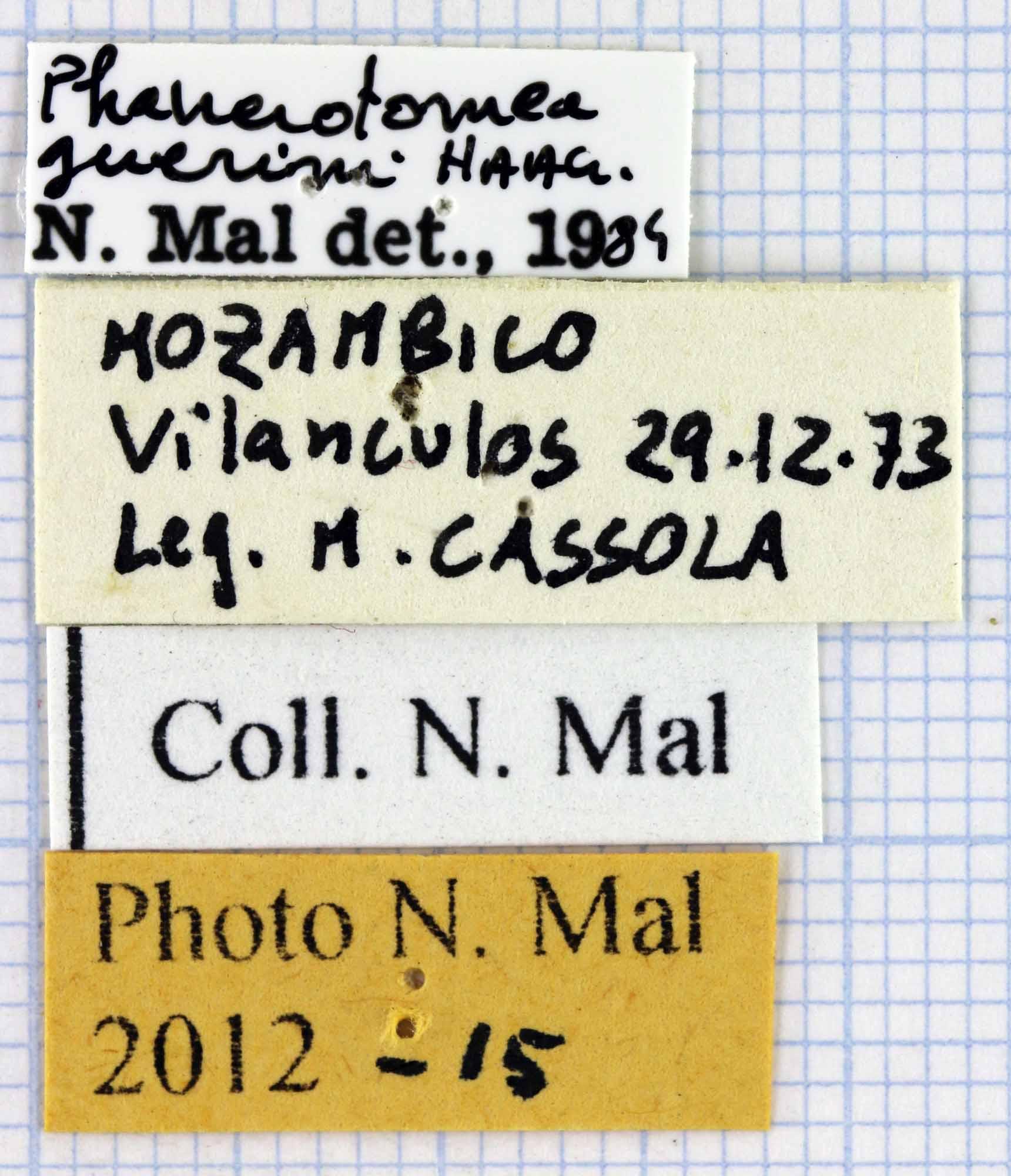 Phanerotomea guerini 35806.jpg