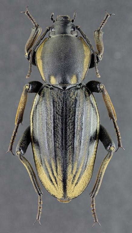 Phanerotomea guerini 35807zs19.jpg
