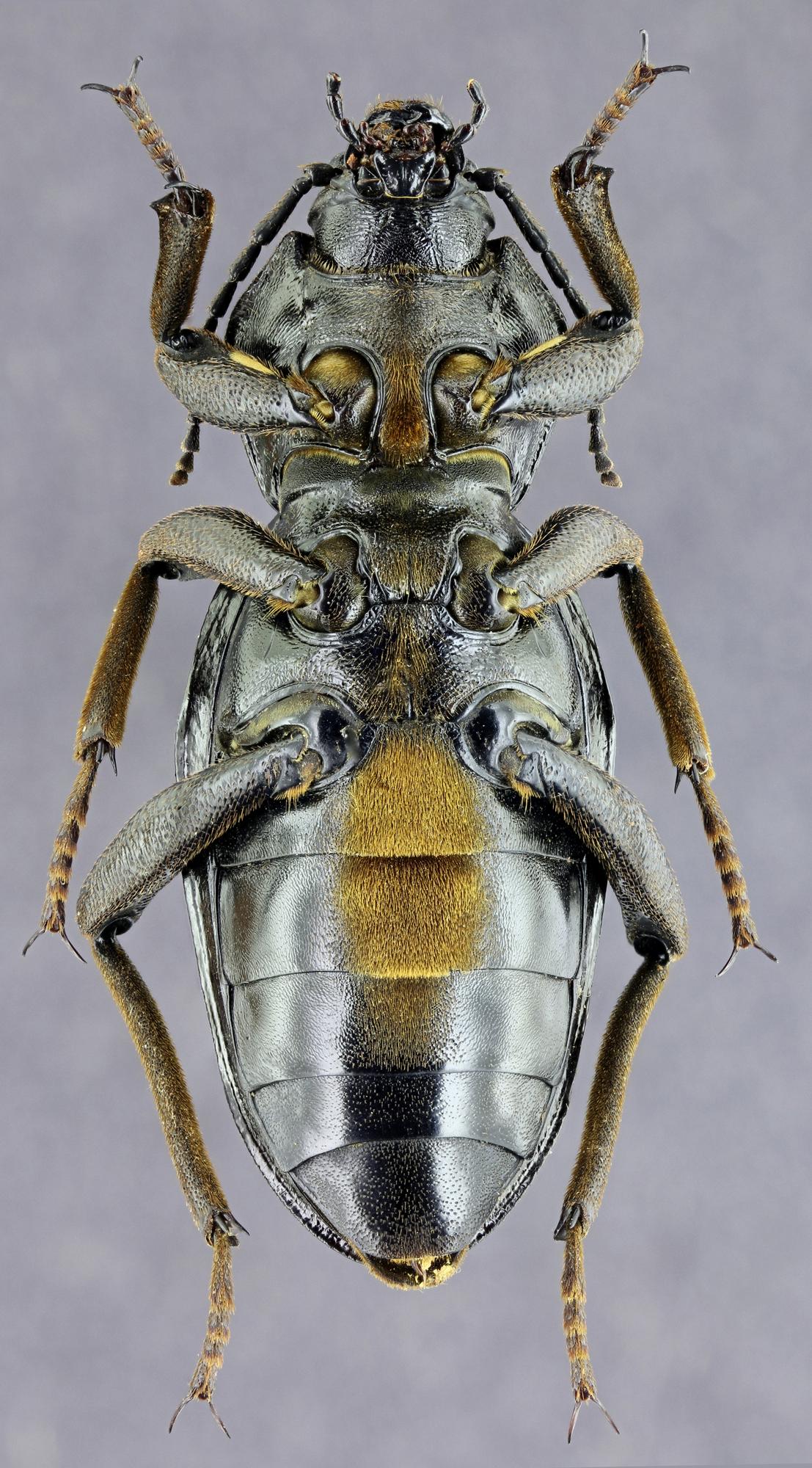 Phanerotomea guerini 35820zs29.jpg