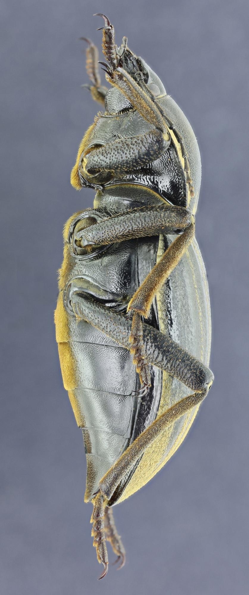 Phanerotomea guerini 35838zs53.jpg