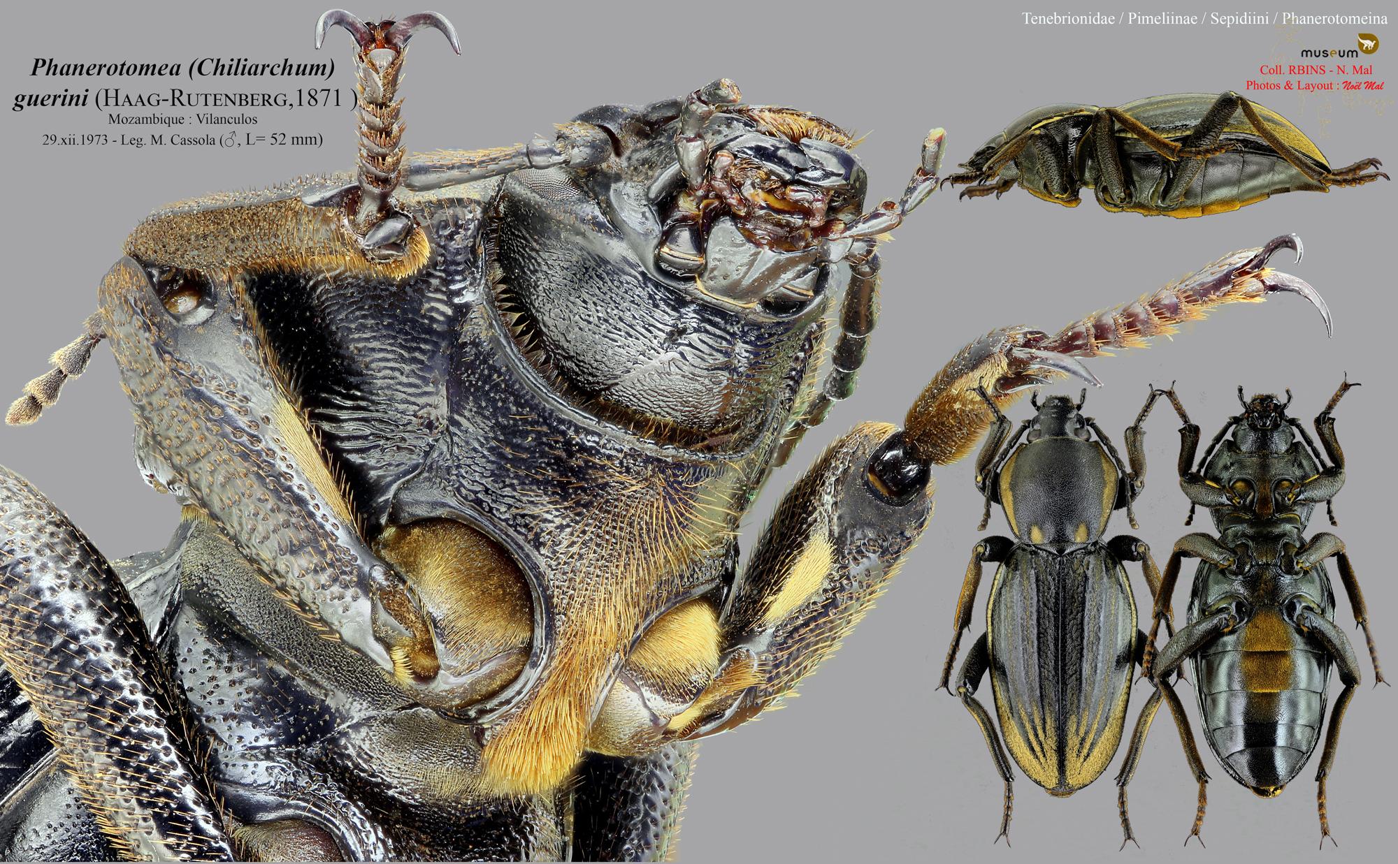 Phanerotomea guerini m.jpg
