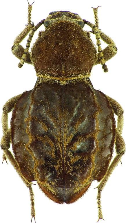 Phrynocolus (Phrynocolus) dentatus 24452cz60.jpg