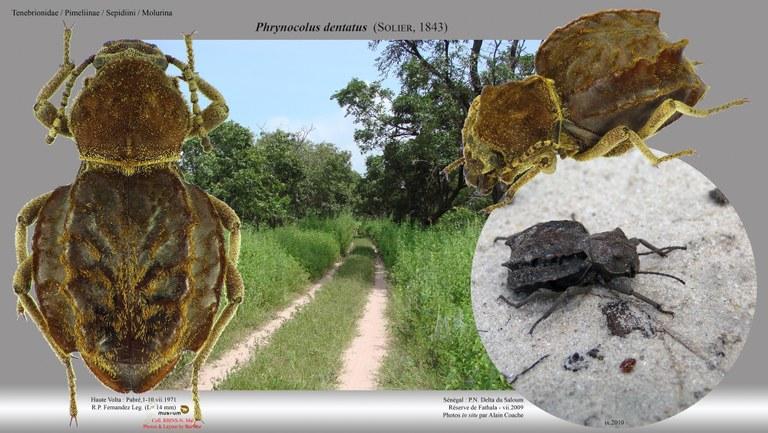 Phrynocolus (Phrynocolus) dentatus.jpg