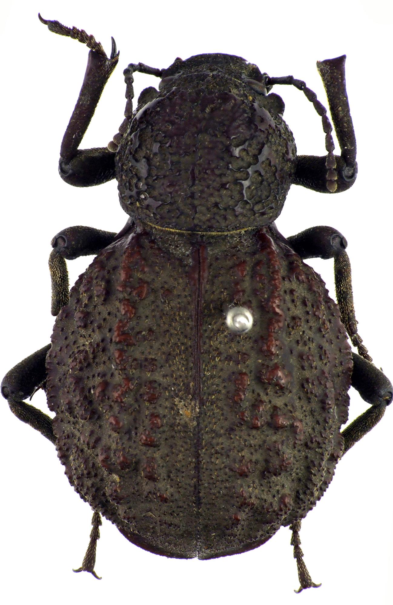Physophrynus bredoi PT f NM64348cz59.jpg