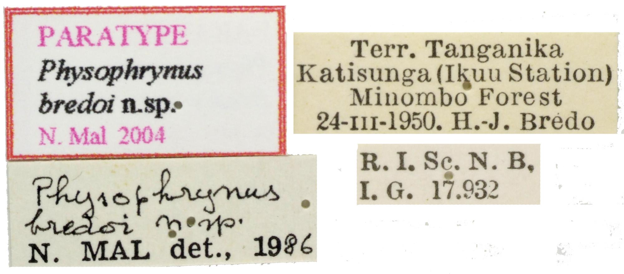 Physophrynus bredoi NM64317.jpg