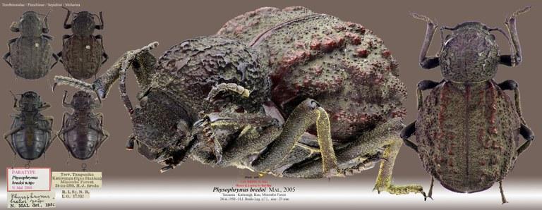 Physophrynus bredoi.jpg