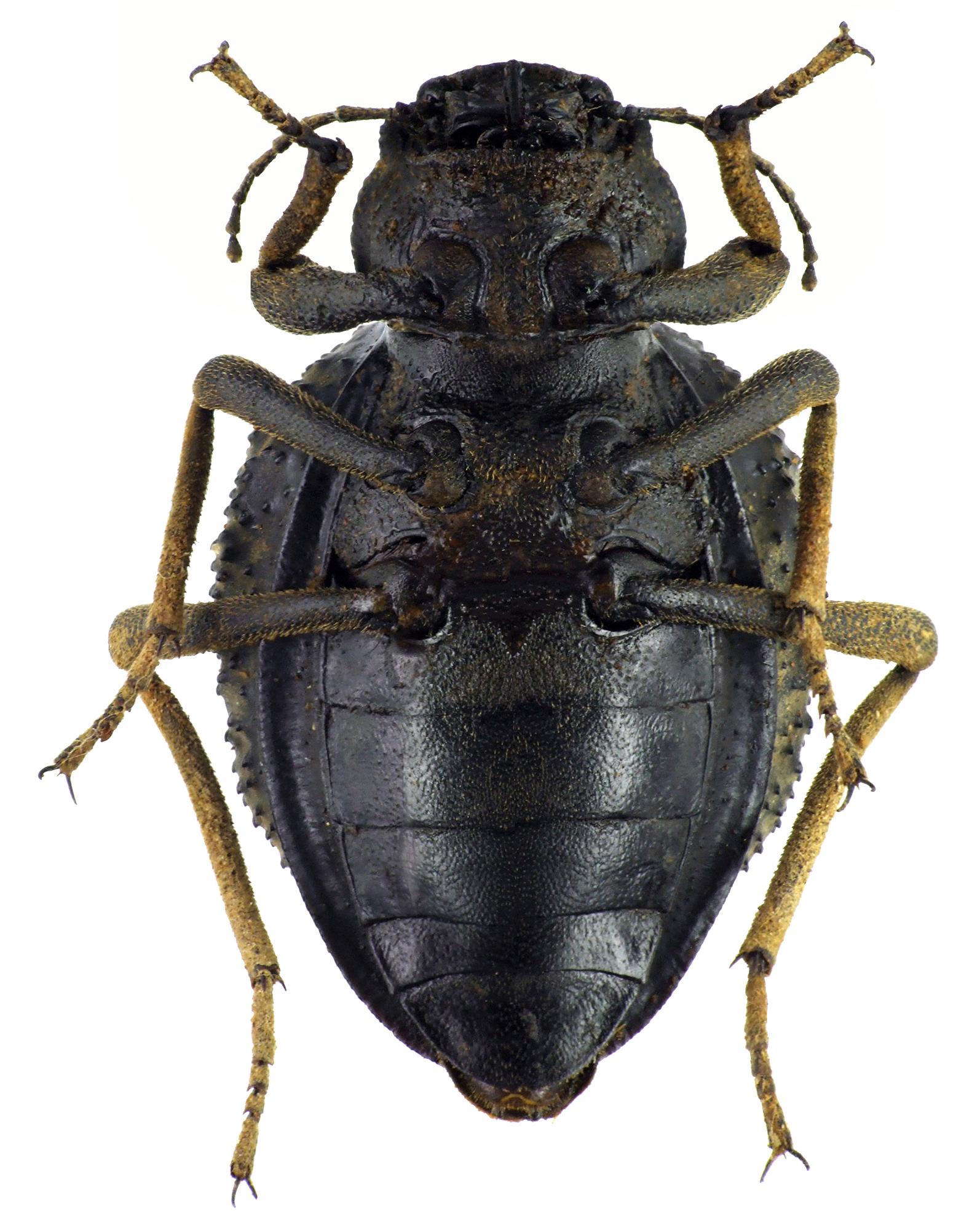 Physophrynus burdoi NM64413cz17.jpg