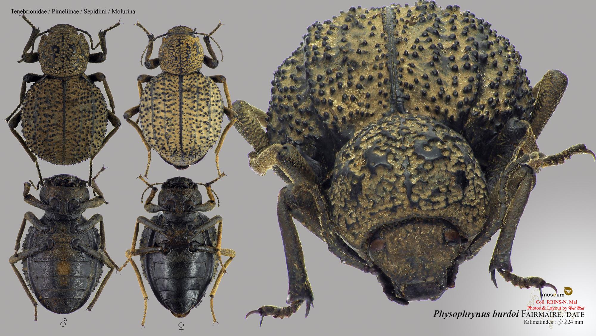 Physophrynus burdoi.jpg