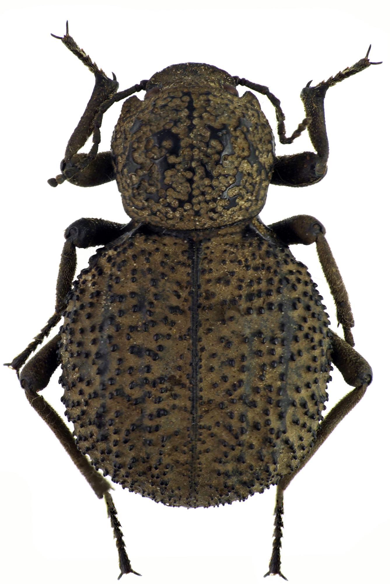 Physophrynus burdoi NM64379cz88.jpg