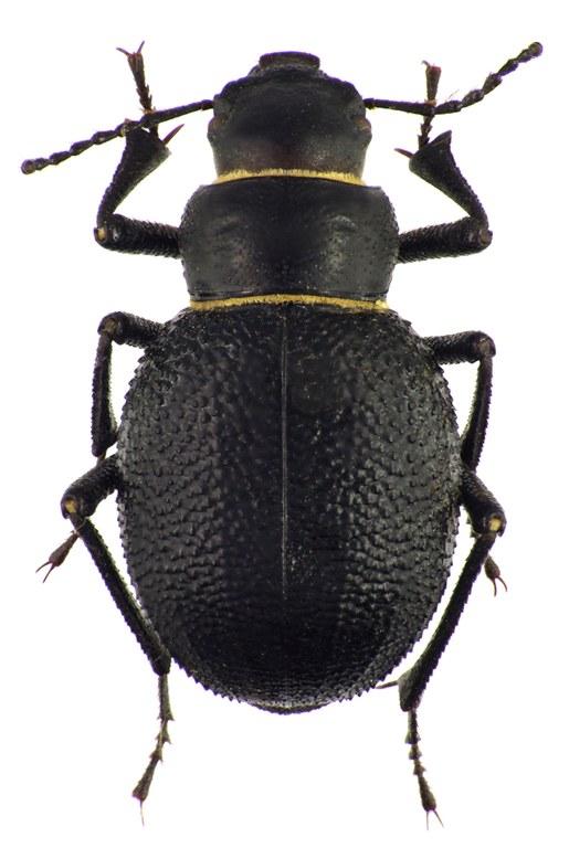 Pimelia (Chaetotoma) cephalotes 72630cz43.jpg