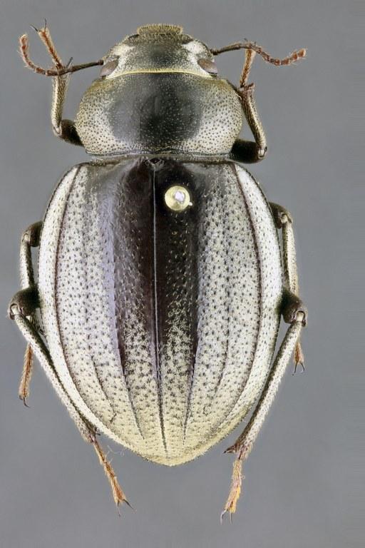 Pimelia senegalensis 65312zs34.jpg