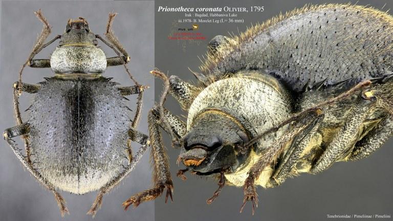 Prionotheca coronata coronata pl2.jpg