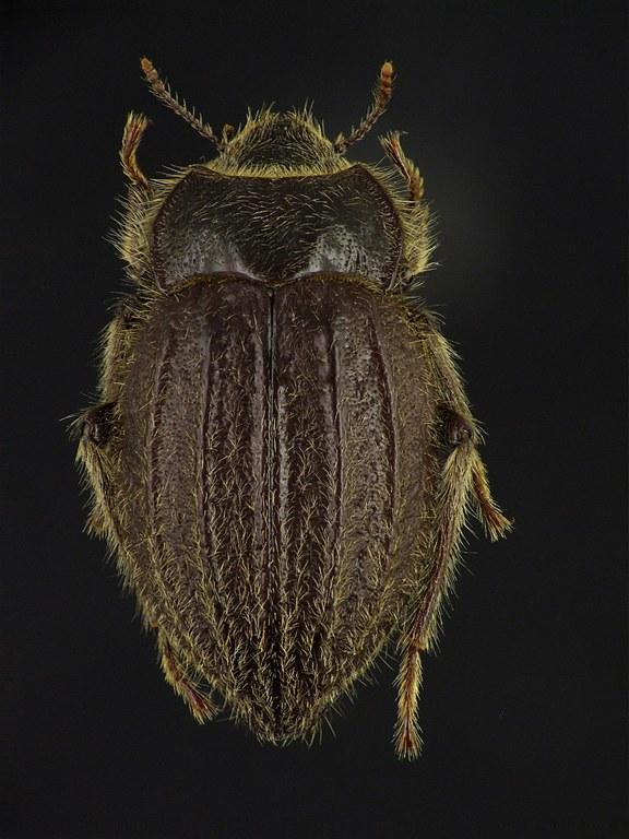 Psectrascelis arenaria 76401cz15.jpg