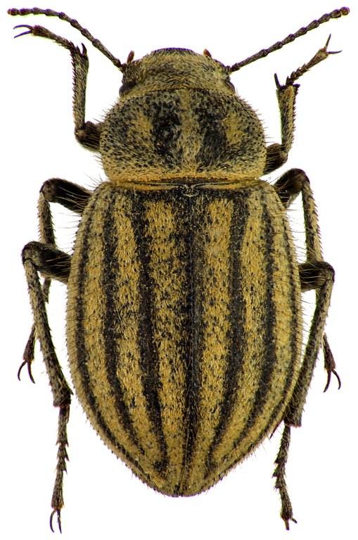 Pterolasia squalida 72621cz29.jpg