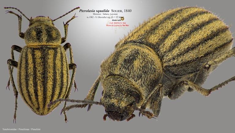 Pterolasia squalida.jpg
