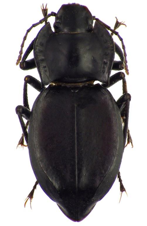 Sarathropus depressus 83765cz72.jpg