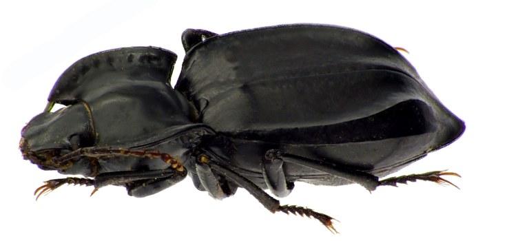 Sarathropus depressus 83773CZ83.jpg