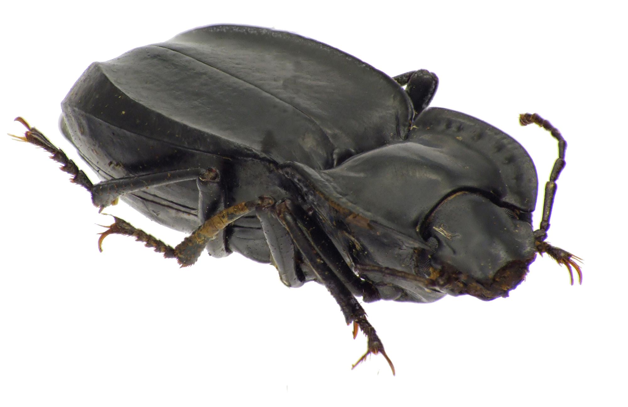 Sarathropus depressus 83784CZ93.jpg