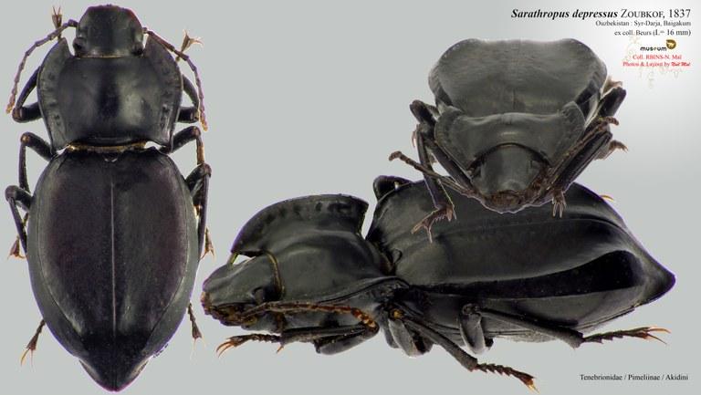 Sarathropus depressus.jpg