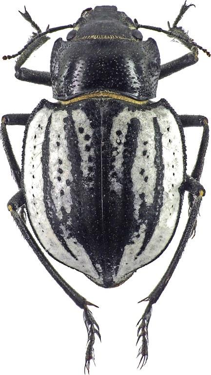 Sternodes caspicus 3578 81.jpg