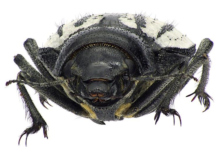 Sternodes caspicus 72374cz63.jpg
