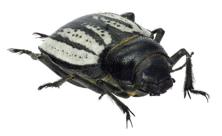 Sternodes caspicus 72394cz14.jpg