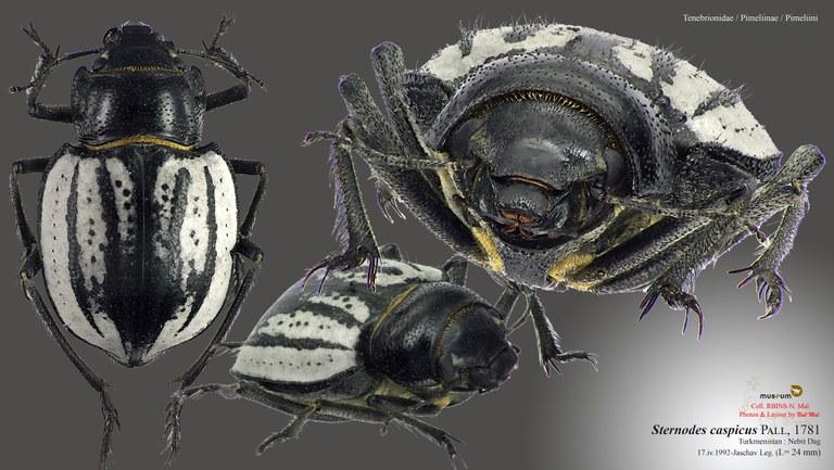 Sternodes caspicus.jpg