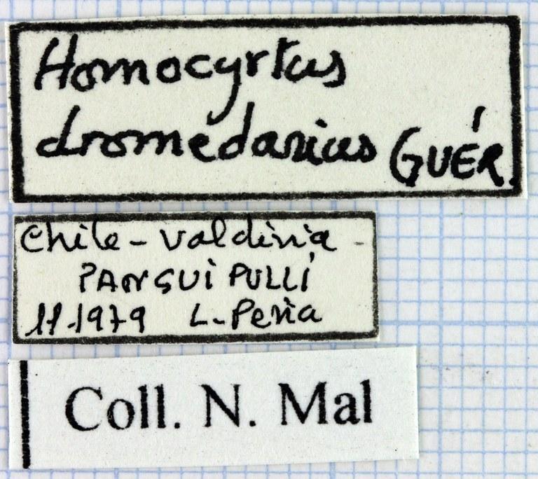 Homocyrtus dromedarius 35405.jpg