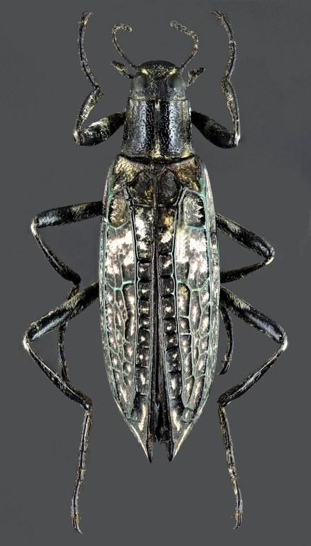 Homocyrtus dromedarius 35451zs74.jpg